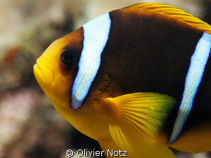 Portrait of a Red Sea Anemonefish by Olivier Notz 